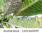 white aphids on leaves | Shutterstock . vector #1101563459