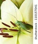 katydid  green bush cricket ... | Shutterstock . vector #110157041