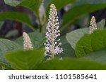 American Pokeweed  Phytolacca...