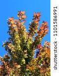 foliiage of sweet maple in... | Shutterstock . vector #1101586991