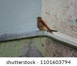 common kestrel  falco... | Shutterstock . vector #1101603794