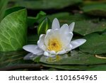 european white water lilly ... | Shutterstock . vector #1101654965