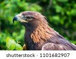 golden eagle   closeup in the... | Shutterstock . vector #1101682907