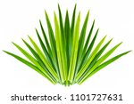 pandan leaves isolated. | Shutterstock . vector #1101727631