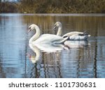 white swans on the river.a... | Shutterstock . vector #1101730631