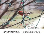 a house finch perched on a tree ...   Shutterstock . vector #1101812471