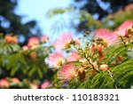 Beautiful Pink Silk Tree With...