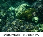 lipe coral image   Shutterstock . vector #1101834497