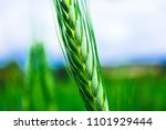 bright colorful green rye... | Shutterstock . vector #1101929444