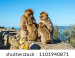Barbary Macaques Family Sits O...
