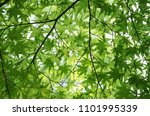 maple green sunlight leaves | Shutterstock . vector #1101995339