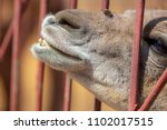 llama nose from the cage in the ... | Shutterstock . vector #1102017515