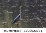 grey heron ardea cinerea | Shutterstock . vector #1102023131