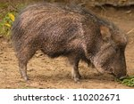 american collared peccary or... | Shutterstock . vector #110202671