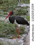 black stork hunting for fish in ... | Shutterstock . vector #1102051559