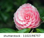 Camellia japonica called...