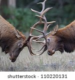 Bull Elk (Roosevelt subspecies) fighting during the September breeding season; Redwood National and State Parks, California coast, highway 101; Pacific Northwest wildlife / nature / outdoors / parks - stock photo