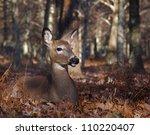 Whitetail Deer Doe Bedded In...