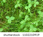 grass. clover. vegetable...   Shutterstock . vector #1102210919