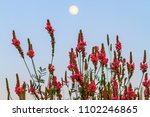 wild pink flowers at dusk for a ... | Shutterstock . vector #1102246865