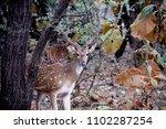 spotted deer at gir forest | Shutterstock . vector #1102287254