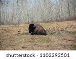 Buffalo In The Prairies