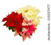 Poinsettia Flower  Christmas...
