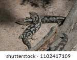 blotched blue tongue lizards ... | Shutterstock . vector #1102417109