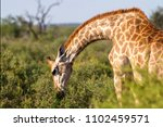 a portrait image of a south... | Shutterstock . vector #1102459571