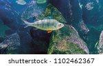 perch   predatory fish living... | Shutterstock . vector #1102462367
