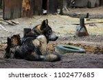 cross between an wolf canis... | Shutterstock . vector #1102477685