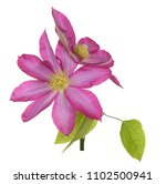 two clematis flower isolated on ... | Shutterstock . vector #1102500941
