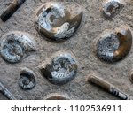 Small photo of Fossils in the rock: round ammonites and elongated, like a finger, belemnites.