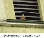 common kestrel  falco... | Shutterstock . vector #1102537124