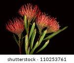 Bright Orange Protea Flowers O...