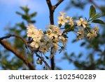 white cherry tree flowers | Shutterstock . vector #1102540289