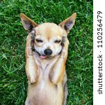Stock photo a cute chihuahua with his paws on his head covering his ears 110256479
