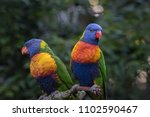 a pair of rainbow lorikeet... | Shutterstock . vector #1102590467