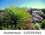 Yucca Plant Malpais Lave Flow...