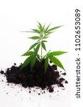 cannabis plant in soil on white ... | Shutterstock . vector #1102653089