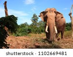 Big male elephant long tusk in the elephant village. In Surin