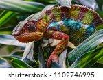 panther chameleon  furcifer... | Shutterstock . vector #1102746995