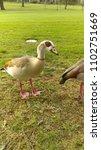 wild egyptian geese | Shutterstock . vector #1102751669