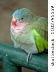 Small photo of this isa close up of a Princess (Alexandra's') Parrot