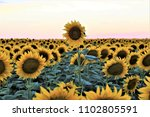Field Sunflowers Evening Sunset One - Fine Art prints