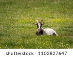 white brown goat lying on a... | Shutterstock . vector #1102827647