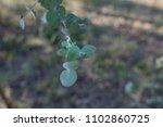 close up of eucalyptus cinerea... | Shutterstock . vector #1102860725