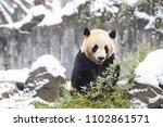 giant panda eating their... | Shutterstock . vector #1102861571