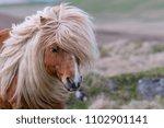 A Portrait Of A Lone Shetland...