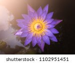 the purple lotus that hit the... | Shutterstock . vector #1102951451